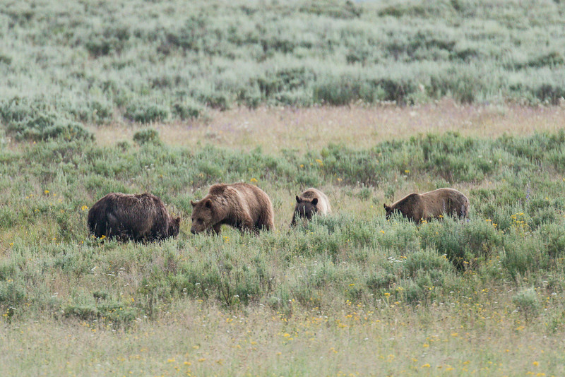 Grizzly bears feeding on a bison carcass, Hayden Valley