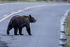 Bear crossing the Mt. Washburn Road