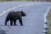 Bear crossing the Mt. Washburn Road