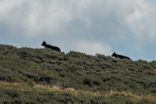 Wolves in the Hayden Valley of Yellowstone