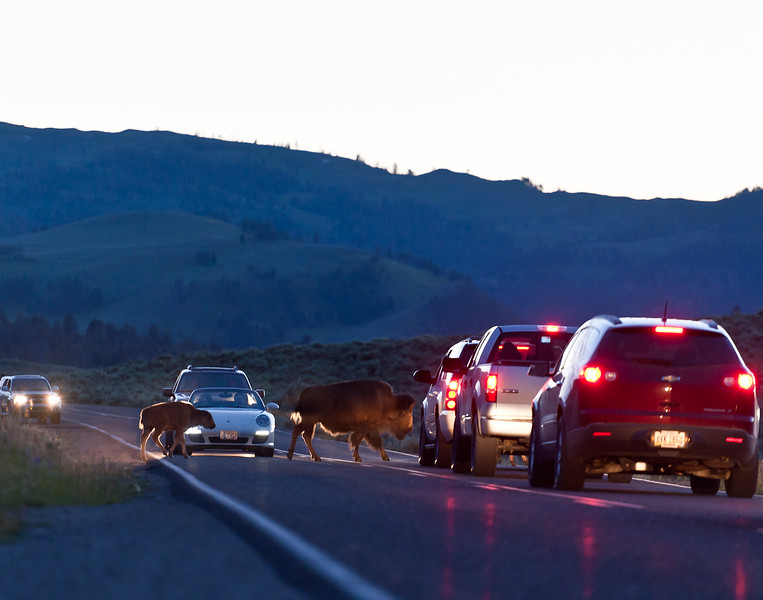 Bison crossing in the Lamar Valley of Yellowstone
