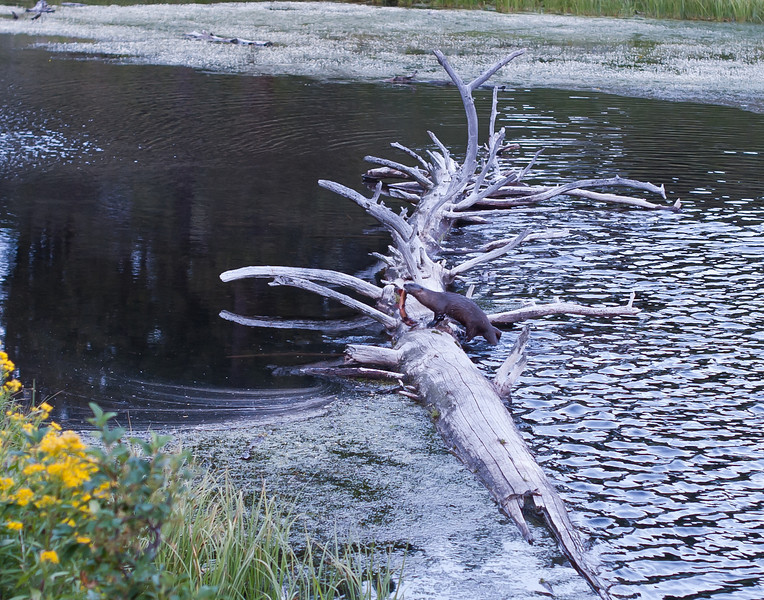 River otter and cutthroat trout, Trout Lake, Yellowstone National Park