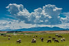 Sheep in the Beaverhead River valley