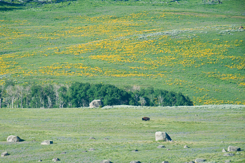 Flowers and bison, lamar Valley