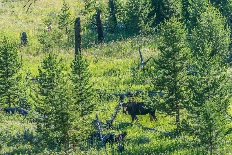 a rare moose sighting near Roosevelt Lodge
