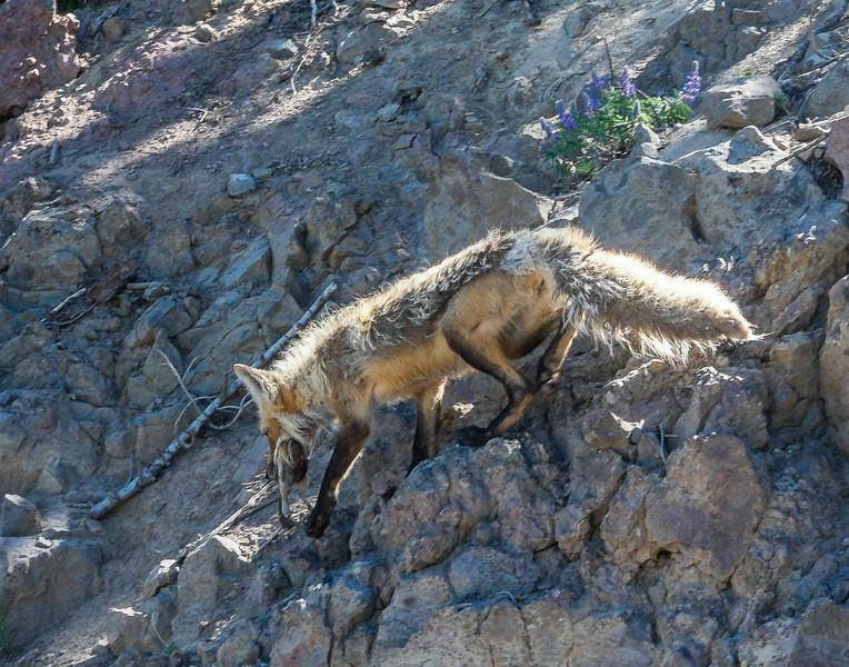 a fox with chipmunk on Mt. Washburn