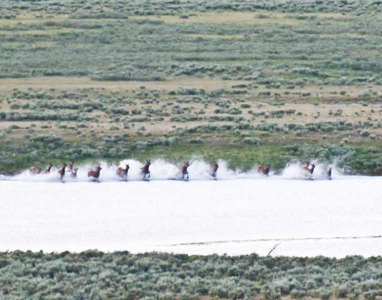 A herd of elk flees into the Yellowstone River in the Hayden Valley to escape a wolf attack