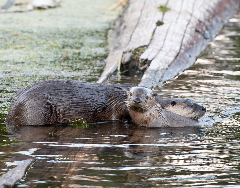 Otters at Trout Lake, Yellowstone