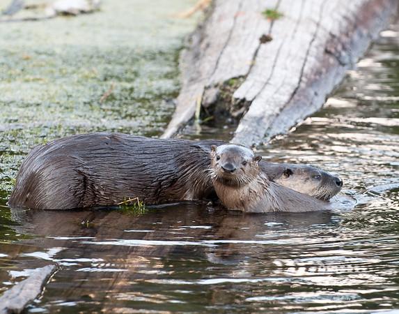 Otters at Trout Lake, Yellowstone
