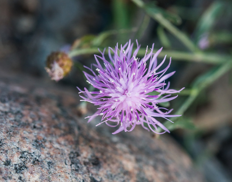 Spotted Knapweed, a noxious weed