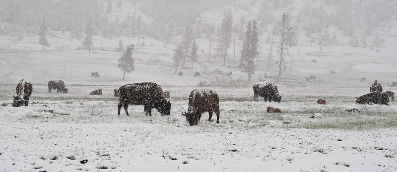 Bison herd at Fountain Flats, Yellowstone