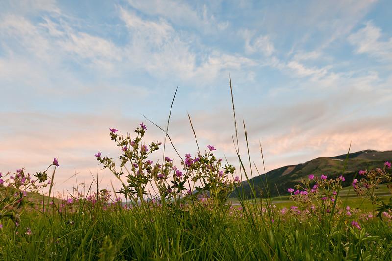 Lamar Valley wildflowers