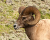 Bighorn sheep - photo taken from car window