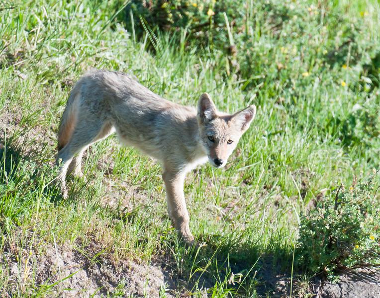 coyote pup, Hayden Valley