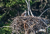 Osprey and chick, on the Lamar River