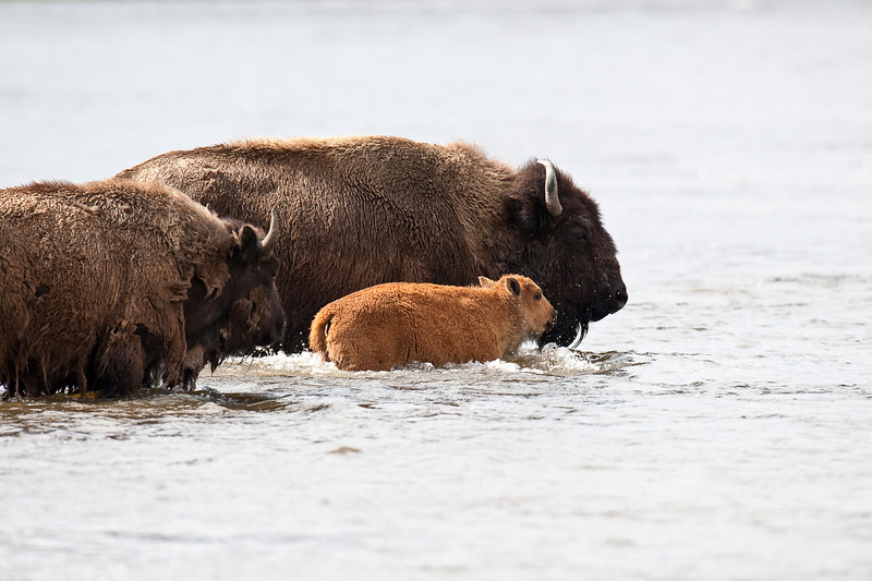 Bison and calf fording the Firehole River