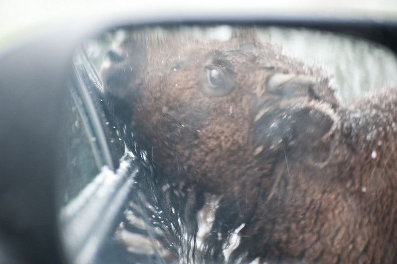 Bison in rear view mirror.