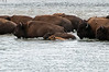 A herd of bison fords the Lamar River