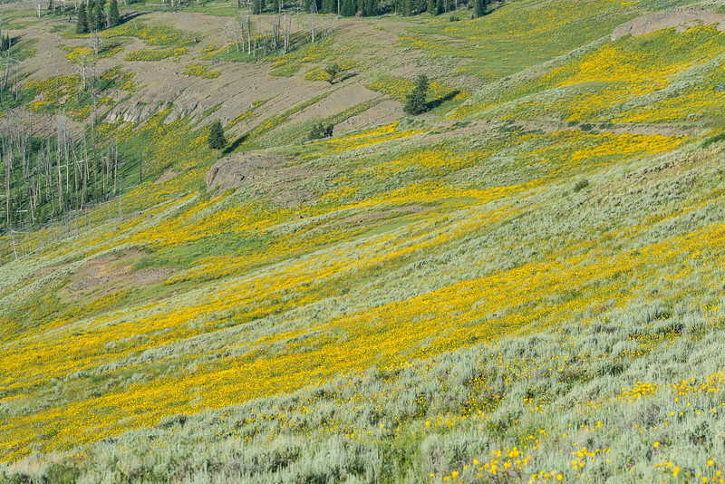 wildflowers on Mt. Washburn