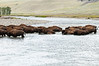 Bison fording the Lamar River, Yellowstone