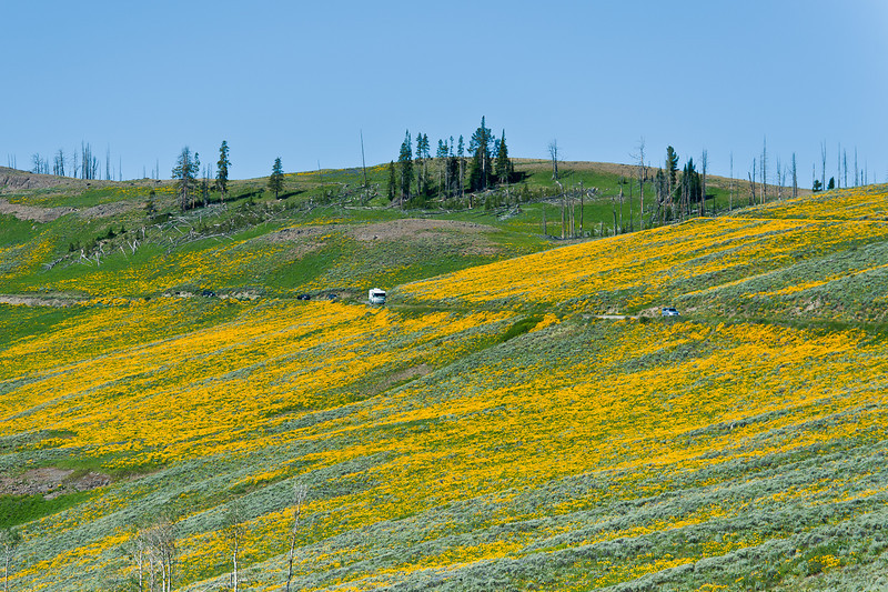 Mt. Washburn road and wildflowers