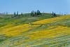 Mt. Washburn road and wildflowers