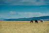 Grazing horses, Madison River Valley