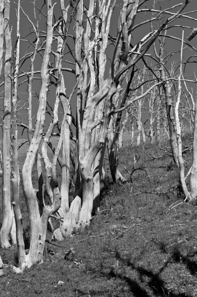 ghost grove, Mt. Washburn