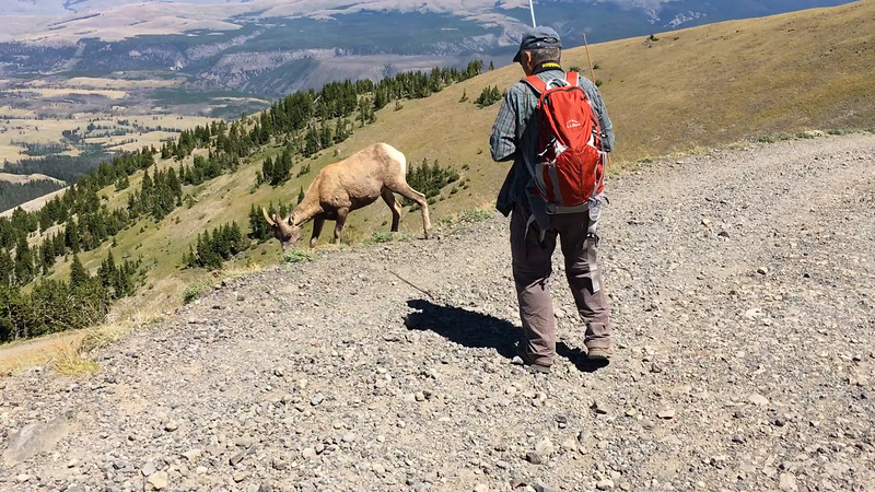 Bighorn sheep on the top of Mt. Washburn