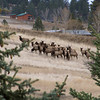 A Spring morning gathering in Montana. Rocky Mountain Elk...