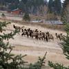 A Spring morning gathering in Montana. Rocky Mountain Elk...