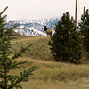 "A cow elk looks back as if to say...., ""Hmmm, now where do we go??"""