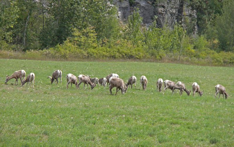 Wild Big Horn Sheep graze near Thompson Falls, MT