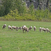 Wild Big Horn Sheep graze near Thompson Falls, MT