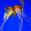 Jellyfish_Monterey-Bay-Aquarium_DSC_7527 copy