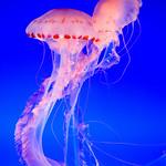Pair of Jellyfish at the Monterey Bay Aquarium