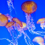Jellyfish-Monterey-Bay_Aquarium-California-DSC_7407 copy