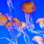 Jellyfish-Monterey-Bay_Aquarium-California-DSC_7407 copy