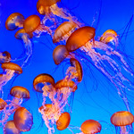 Jellyfish at the Monterey Bay Aquarium. I captured these stunning creatures at one of our favorite places to go - The Monterey Bay Aquarium. The exhibits continue to change and it is such a fun place to visit!