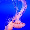 Purple-Striped_Jellyfish_Montery_Bay_Aquarium_DSC_7456