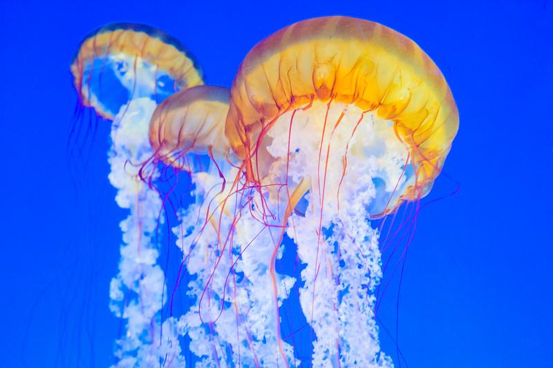 Jellyfish_monterey-Bay-Aquarium-California_DSC_7404