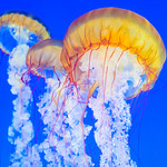 Jellyfish_monterey-Bay-Aquarium-California_DSC_7404