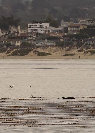Monterey Bay Dolphins