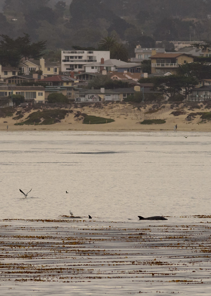 Monterey Bay Dolphins