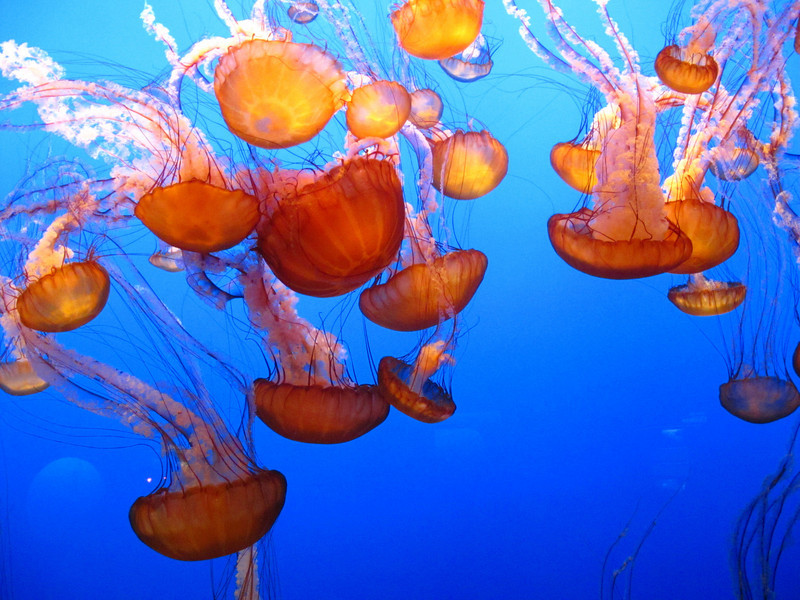 Jellyfish - Monterey aquariam