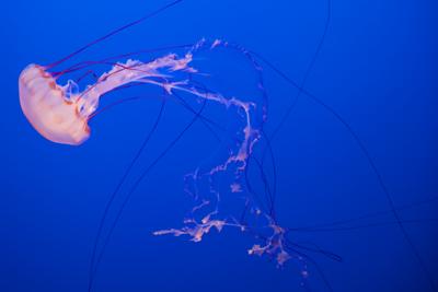 Jellyfish exhibit, Monterey Bay Aquarium