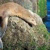 Sea Lion, Monterey Bay