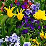 Colorful Spring flowers in front of the LDS Mormon Temple in Salt Lake City