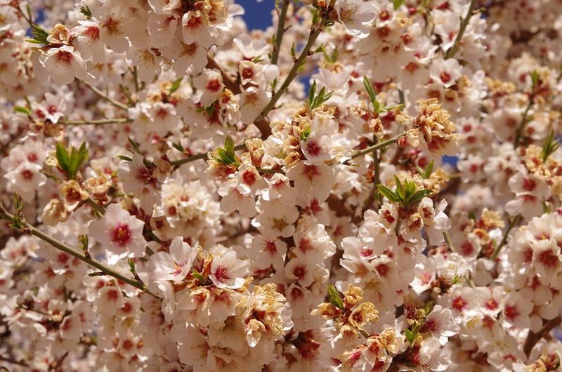 Almond trees along the roads near the High Atlas...