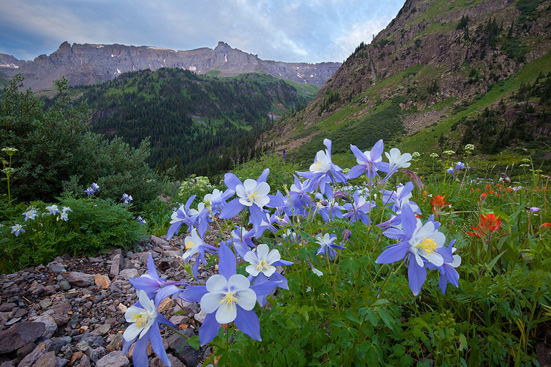 (YB-10019_20)  Blue Columbine beneath Mendota Peak; San Juan Mtns., Colorado